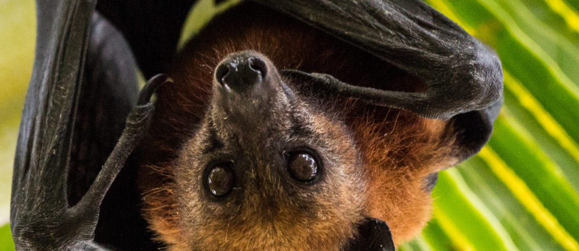 Fruit bat (c) By Subphoto