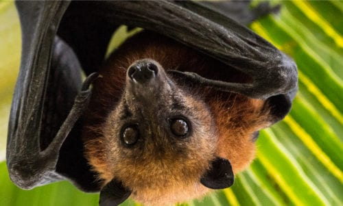 Fruit bat (c) By Subphoto